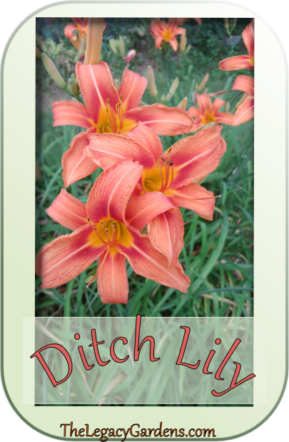 Ditch Lilies -- moved a few to a new location. They should be ready to bloom in the spring.